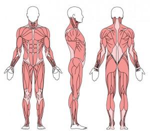spieren-voor-en-achterkant